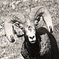 Big Horn Ram Bandw 5 by Russell Smith