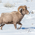 Big-horn Ram In Winter by Yeates Photography