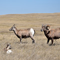 Big Horn Sheep Family by Kathy M Krause