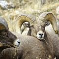 Big Horn Sheep Grazing by Vicki Reinke