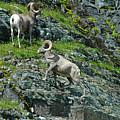 Big Horn Sheep In Glacier Np by Cindy Murphy - NightVisions