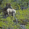 Big Horn Sheep - Jasper by Cindy Murphy - NightVisions