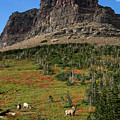 Big Horn Sheep by Lawrence Boothby