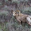 Big Horn Sheep by Rodney Cammauf