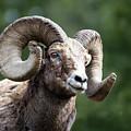 Big Horn Sheep by Scott Read
