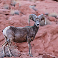 Big Horn Sheep Valley Of Fire by John McGraw