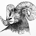 Big Horned Sheep by E Colin Williams ARCA