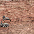 Big Horned Sheep Of Zion by Richard Willacy