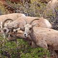 Big Horn Sheep by Paul Schultz