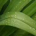 Big Lily by Kristi Ulrich