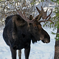 Big Moose by Cindy Murphy - NightVisions