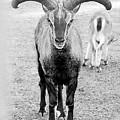 Big Moufflon Ram by Irina Safonova