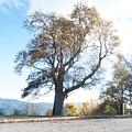 Big Old Tree by Dan Ya