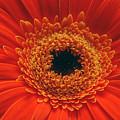 Big Orange Daisey by Jon Daly