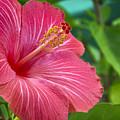 Big Pink Hibiscus by Jade Moon