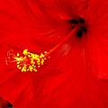 Big Red Caribbean Hibiscus by Leonard Rosenfield
