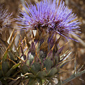 Big Thistle 2 by Kelley King