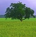 Big Tree by Go Van Kampen