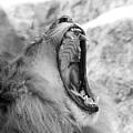 Big Yawn  Black And White by Judy Whitton