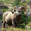 Bighorn 1 by Marty Koch