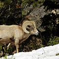Bighorn In The Rockies by Natural Focal Point Photography