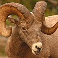 Bighorn Ram With Evident Disdain by Max Allen