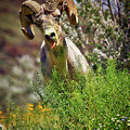Bighorn Sheep And Wildflowers In Anza Borrego Desert State Park by Sam Antonio Photography