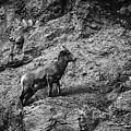 Bighorn Sheep Ewe On Wolf Creek Pass by Jason Coward
