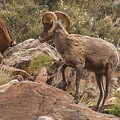 Bighorn Sheep In Grand Canyon by NaturesPix
