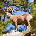 Bighorn Sheep In The San Isabel National Forest by Steve Krull