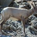 Bighorn Sheep Lamb by Colleen Cornelius