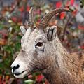 Bighorn Sheep by Larry Ricker