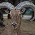 Bighorn Sheep V16 by Douglas Barnard