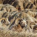 Bighorn Sheep Zen In The Sun by Ray Van Gundy