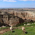 Bighorn Sheeps At Sage Creek by Christiane Schulze Art And Photography