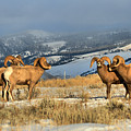 Bighorns In The Elk Refuge by Adam Jewell