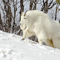 Billy Goat On The Move by Yeates Photography
