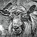 Billy Goat Sketch by Artful Oasis
