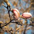 Biltmore Cherry Blossom by Brittany Jordan