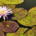 Biltmore Lily  by Lisa Kleiner