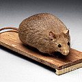 Bioengineered Obese Mouse, 1998 by Wellcome Images