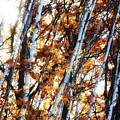 Birch And Oak And Sun by John Meader