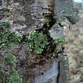 Birch Bark 1 by Jacqueline Athmann