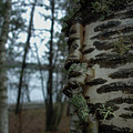 Birch Bark 2 by Jacqueline Athmann