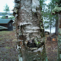Birch Bark 3 by Jacqueline Athmann
