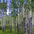 Birch Forest by Julie Lueders
