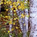 Birch In Autumn by Terry Davis