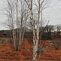 Birch On A Rocky Hill  by Bill Driscoll