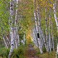 Birch Path by Nancy Dunivin