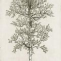Birch Tree by Charles Harden
